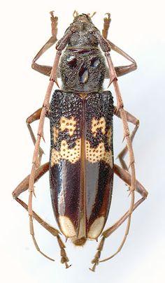 Phoracantha semipunctata - female