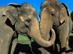 Asian Elephant - populations down 50% over last three generations