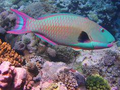 bi-color parrot fish. magenta. turquoise. blue. pink.