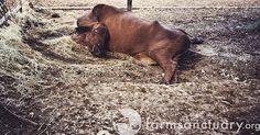 Milano: condannato autotrasportatore, accecò una mucca a terra con un punteruolo
