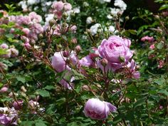 "Rose "" Alan Titchmarsh "" , (Ausjive) , bred by David C. H. Austin (United Kingdom, 2000)"