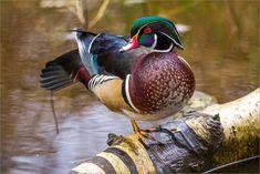 Wood ducks at the Reifel Bird Sanctuary