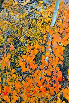 Orange aspen leaves - Eastern Sierra, California