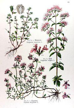 Kräuterbuch (1914). Botanical, illustration, nature, plants, flowers