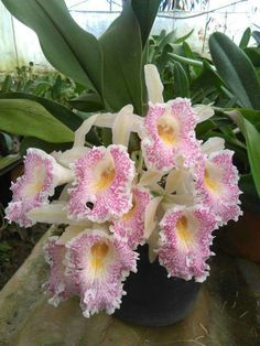 Beautiful cattleya orchid!