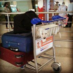 All set to fly .... #RyderKennel #Rydeweiler #igi #delhi #flight #aircraft #singaporeairlinesa380 #singaporeairlines #FlySQ #SingaporeAir #labradorite #Labrador