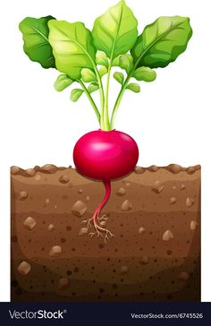 Red radish with roots underground Royalty Free Vector Image Fall Preschool, Preschool Activities, Vegetable Drawing, Vintage Seed Packets, Non Toy Gifts, Free To Use Images, Glitter Background, School Decorations, Plant Growth