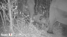 Wild Elephants of Way Kambas http://www.brucelevick.com/wild-elephants-of-way-kambas/ A gorgeous herd of wild elephants make their way across the Way Kambas National park in the early morning hours captured on the Berdiri (http://www.berdiri.org) camera traps. [KGVID]http://elephantsofsumatra.com/wp-content/uploads/2017/07/Gajah-Liar.m4v[/KGVID]  #Baby, #CameraTraps, #Conservation, #Elephant, #Elephants, #WayKambas, #Wild