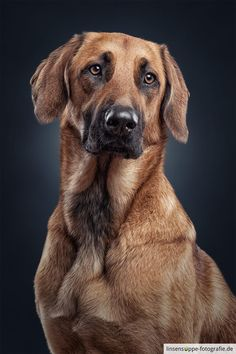 Portrait of Maila - german shepherd mix - This is Maila, a german shepherd mix. One of my favorite dogs :). feel free to like and share.