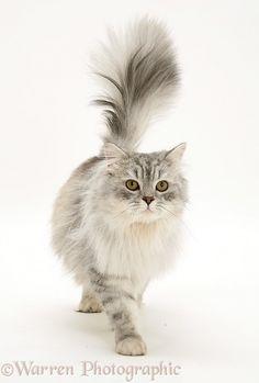 Silver tabby Chinchilla male cat, Horace