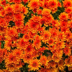 Chrysanthemum -Create some fireworks in your fall garden with a generous helping of chrysanthemums. These autumn bloomers work just as well in containers as they do in the border. Flowers are available in red, orange, purple, white, and yellow, and vary in size from cute buttonlike blooms to softball-size giants. Chrysanthemums will come back every year, but they have a tendency to die out after a few seasons. That's why it's a good idea to plant new chrysanthemums every year.