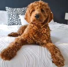 "Visit our internet site for even more info on ""poodle pups"". It is a great place to learn more. Goldendoodle Grooming, Mini Goldendoodle Puppies, Poodle Puppies, Cute Dogs And Puppies, I Love Dogs, Doggies, Labrador Retrievers, Shiba Inu, Mini Doodle"
