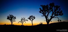 Joshua Tree Sunrise - Order fine art prints of this photo starting at $56.95.