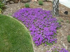 Homestead Purple Verbena Fast spreading perennial groundcover, deer resistant, drought tolerant, loves full sun, and attracts butterflies. Ground Cover Plants, Flowers Perennials, Plants, Low Water Gardening, Lawn And Garden, Verbena Homestead Purple, Outdoor Gardens, Perennials, Outdoor Plants
