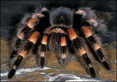 The Mexican red knee tarantula is one of favorite tarantulas out there. http://awesometarantulas.com/the-mexican-red-knee-tarantula/