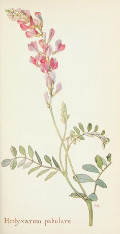 Field book of western wild flowers - hedysarum pebulare - a kind of sweet pea