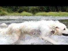 Dog breed : Slovenský čuvač - slowmotion - YouTube