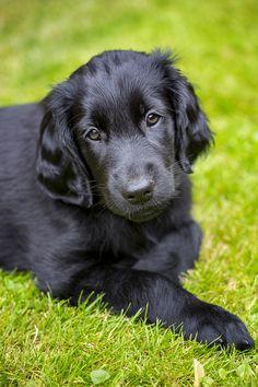 Flatcoated Retriever Puppy - 8 weeks