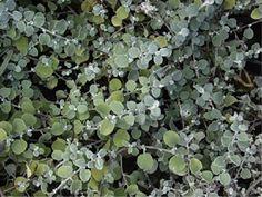 Licorise Plant 'Silver Mist' (Helichrysum Microphyllum) Flower Plant Seeds, Perennial Trailing Heirloom