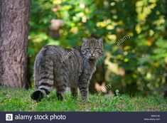 European wildcat (Felis silvestris silvestris) .