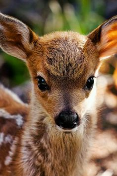 Beautiful Fawn( Baby Deer) I Love Animals & Nature Cute Creatures, Beautiful Creatures, Animals Beautiful, Pretty Animals, Majestic Animals, Woodland Creatures, Nature Animals, Animals And Pets, Forest Animals