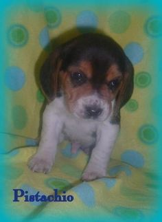 Pistachio is a baby Beagle that is looking for a new forever home. Help this little guy find a new family.