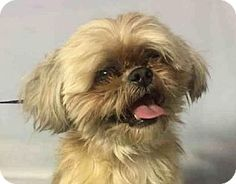 Pictures of Skittles Shih a Shih Tzu for adoption in NYC, NY who needs a loving home.