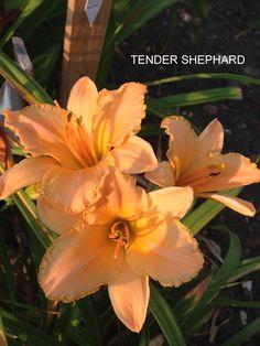 TENDER SHEPHARD