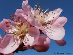 Peach blossoms by Snezana Petrovic on 500px