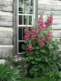 Hollyhocks outside log cabin window, Sweden