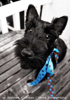 THE NOSE KNOWS Scottie Dog Greeting Card by TerraPhotography, $5.50