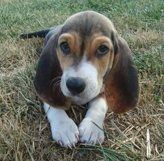 Cute Basset Artésien Normand puppy photo