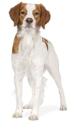 Brittany Spaniel Information And Pictures http://tipsfordogs.info/90dogtrainingtips/