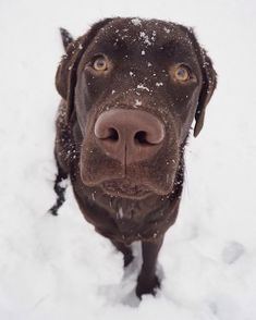 Did someone say Friday? . . #friday #perjantai #snow #lunta #doglovers #happy #assistancedog #dogsofinstagram #brownlab #labrador #dog #instadog #puppylove #labsofinsta #lablove #hunde #hund #犬 #labradors_ #labradorpuppy #labradorinnoutaja  #koira #dogoftheday #dogfriend #browndoginn  #doge #doggy #pet  #hunde #animals #dogtraining via @saaraauvinen