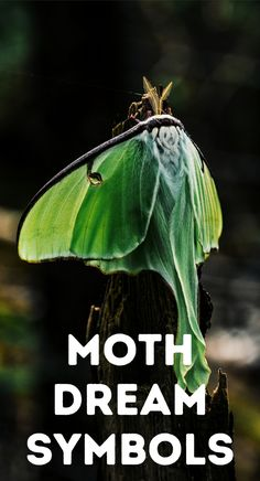 Moth symbolism and spiritual meaning in Celtic folklore, Native American folklore, Gaelic folklore, and the Bible. What do moths symbolize in dreams? The meaning of moths in witchcraft. Black witch moth meaning. Lunar moth symbolism and death. Moth tattoo symbolism. What does a moth totem mean as a spirit animal? Moths represent fatal attraction and vulnerability. Moth spirit guide symbolism. Black moth spiritual meaning. White moth spiritual meaning. Yellow moth spiritual meaning. Magick. Witchcraft History, Witchcraft Symbols, Witchcraft Herbs, Witchcraft Books, Magick, Black Witch Moth, Moth Symbolism, Witchcraft Tattoos