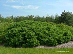 Cornus racemosa - Gray dogwood