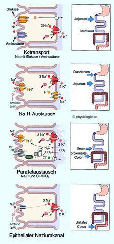 Physiologie Absorptionsprozesse Darm