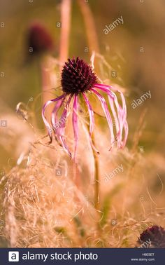 Echinacea Pallida And Stipa Tenuissima. Oudolf Field, Hauser & Wirth.  Photographer: Sally Smith