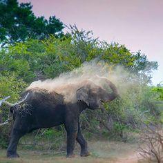 An elephant in its natural habitat in Arugam Bay, Sri Lanka. Captured by @nataliaanjaphotography @globaldegree #MeetTheWorld #globaldegree