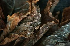 """""""Life Lines"""", a nature abstract by Nikolyn McDonald Photography, features the distinctive edges, veins, and petioles of dried hydrangea leaves.  This piece is available in many sizes as an art print on paper, canvas, acrylic, metal, or wood."""