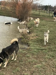 This is how Husky's meet! ❤ #caninemeadows #huskymeetup #fuzzybuttseverywhere