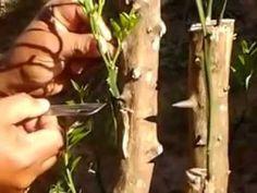 Enxertia com Galho de Laranja - YouTube