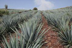 Un horizonte de agaves en Tequila, Jalisco.