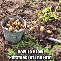 How to Grow Potatoes Off The Grid - If you're a beginner gardener, one of the best things to learn how to grow are potatoes. Due to their simplicity, you'll be able to get some experience under your belt while you master the basics. Back when I first star Survival Food, Outdoor Survival, Survival Skills, Urban Survival, Survival Life, Gardening For Beginners, Gardening Tips, Gardening Quotes, Different Vegetables