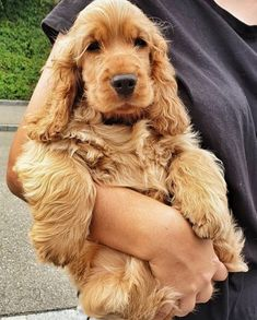 Dog Breeds Names .Dog Breeds Names English Cocker Spaniel Puppies, Golden Cocker Spaniel, Dog Breeds Chart, Big Dog Breeds, Puppy Breeds, Cool Dog Houses, Dog Pee, Cockerspaniel, Cute Dogs And Puppies