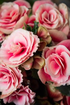 #begonia Begonia, Rose, Flowers, Plants, Photography, Pink, Photograph, Fotografie, Photoshoot