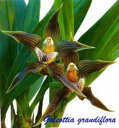 Galeottia Grandiflora   Galeottia grandiflora A. Rich 1845 Photo By © Lourens Grobler.