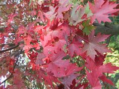 Red Maple   Flickr - Photo Sharing! Arkansas Mountains, Places, Red, Lugares