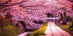 Los cerezos florecieron antes en un pueblo de Japón y dejaron estos bellos paisajes – Nuestroclima