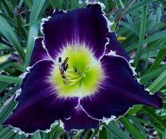 RAVENOUS BITE - (Eustace, 2012) height 32in (81cm), bloom 6.5in (16.5cm), season M, Rebloom, Semi-Evergreen, Tetraploid, 25 buds, 5 branches, Dark royal purple self outlined with pure white teeth, golden throat. (Diamond Star Halo × Venus Flytrap)